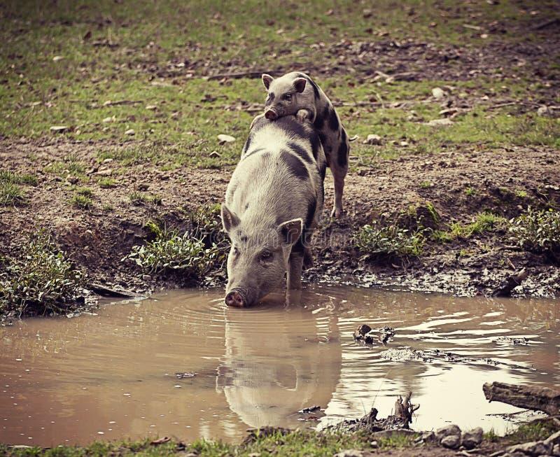 Pot-bellied χοίρος που πίνουν το σκοτεινό νερό και ένα χοιρίδιο στοκ εικόνες με δικαίωμα ελεύθερης χρήσης