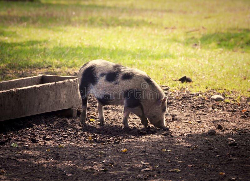 Pot-bellied χοίρος στην αυλή στο ηλιοβασίλεμα στοκ εικόνα με δικαίωμα ελεύθερης χρήσης