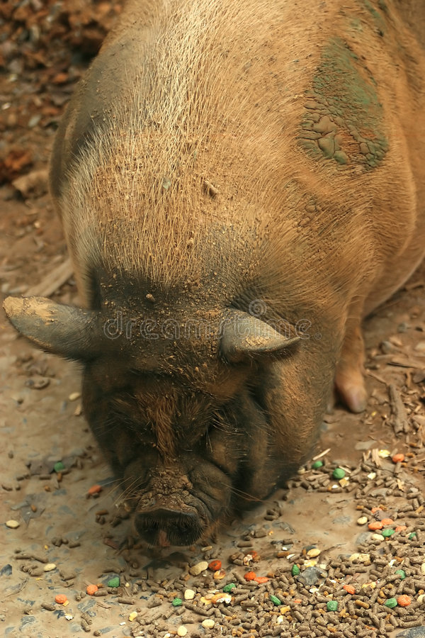 Free Pot Bellied Pig Royalty Free Stock Photos - 203888