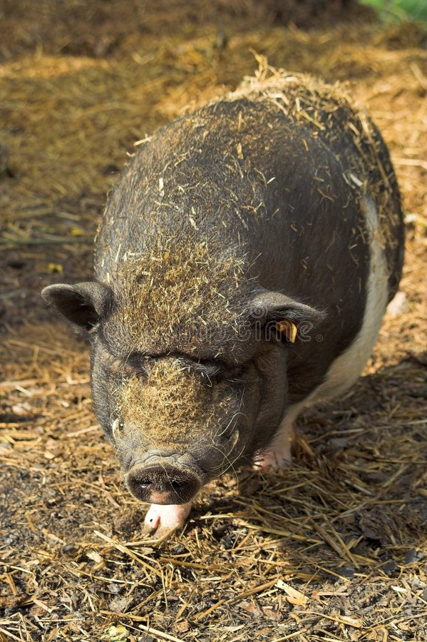 Free Pot-bellied Pig Royalty Free Stock Images - 2808099