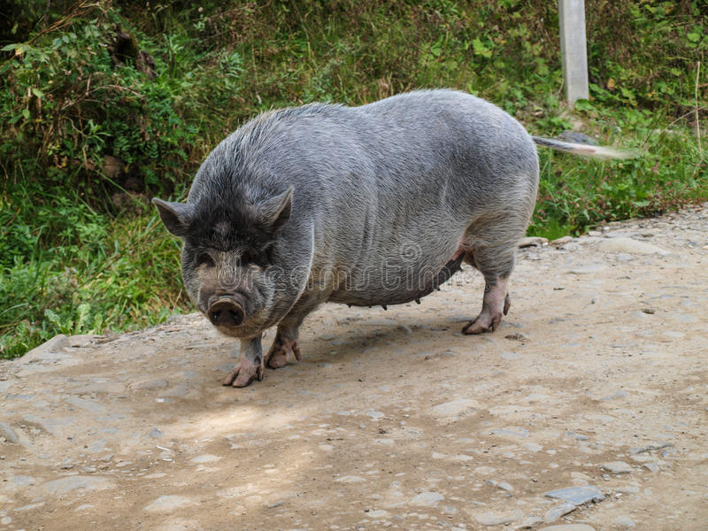 Pot-bellied pig royalty free stock photo
