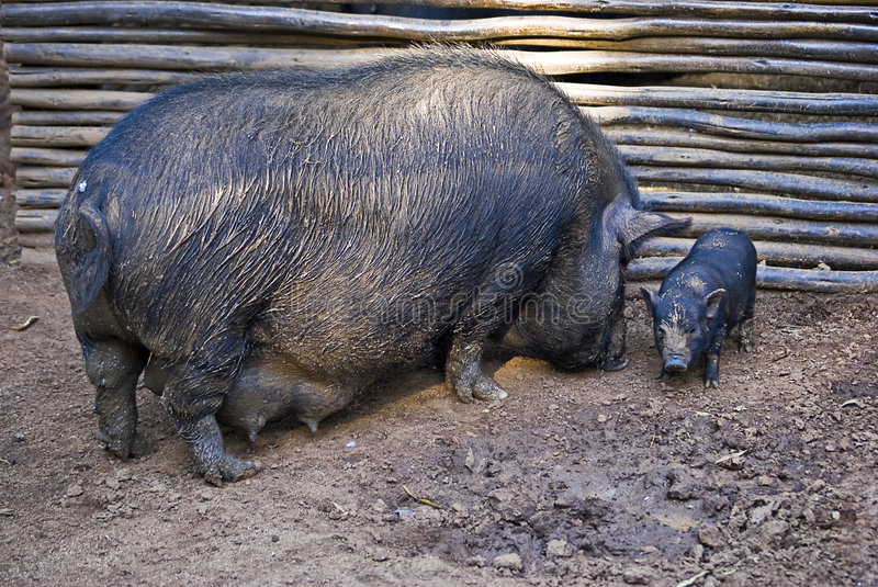 Pot-bellied Pig and Infant