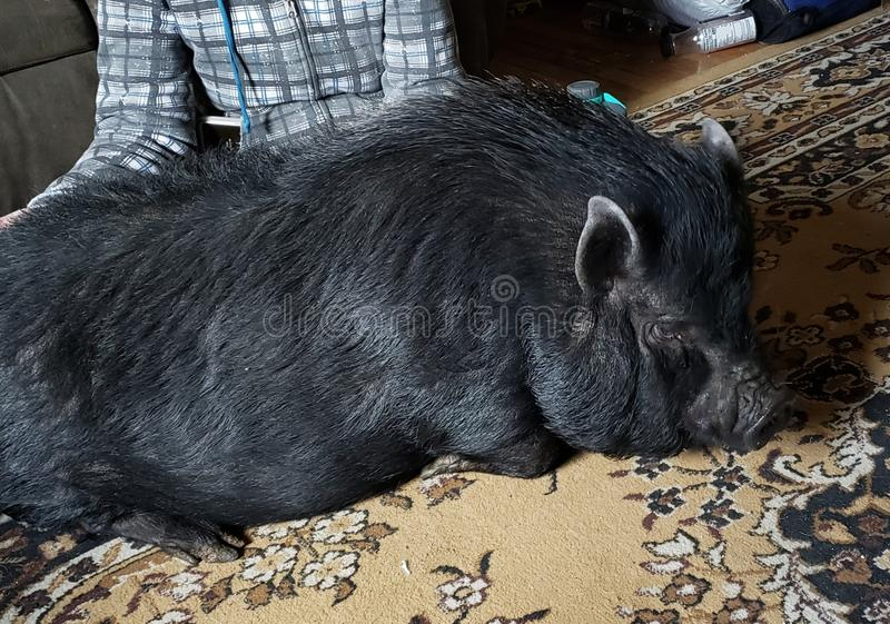 Pot Belly Pig royalty free stock photo
