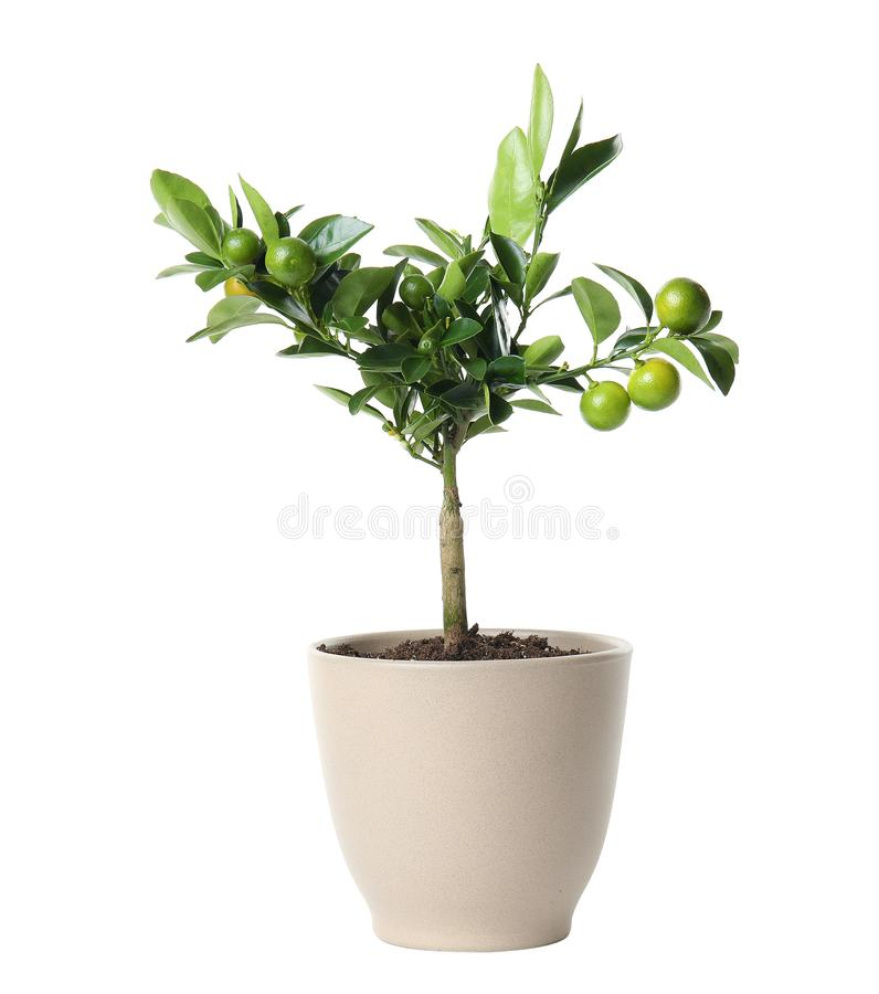 Pot with Calamondin home plant on white. Background royalty free stock photography