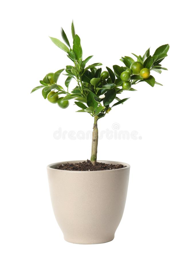 Pot with Calamondin home plant on white. Background royalty free stock photo