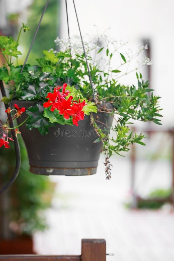 Pot coloré de géranium accrochant sur la rue image libre de droits
