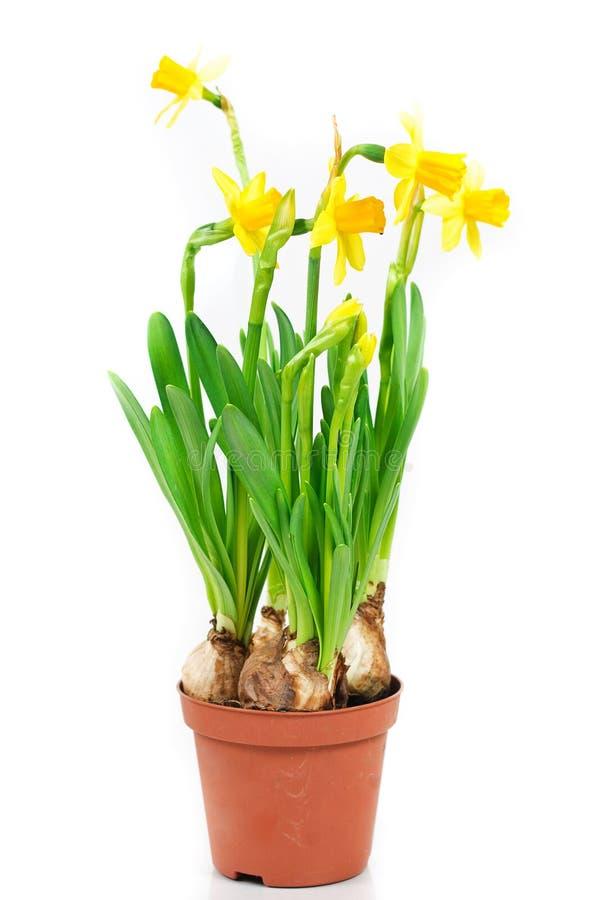 Pot of daffodils. Pot of dwarf yellow daffodils stock photos