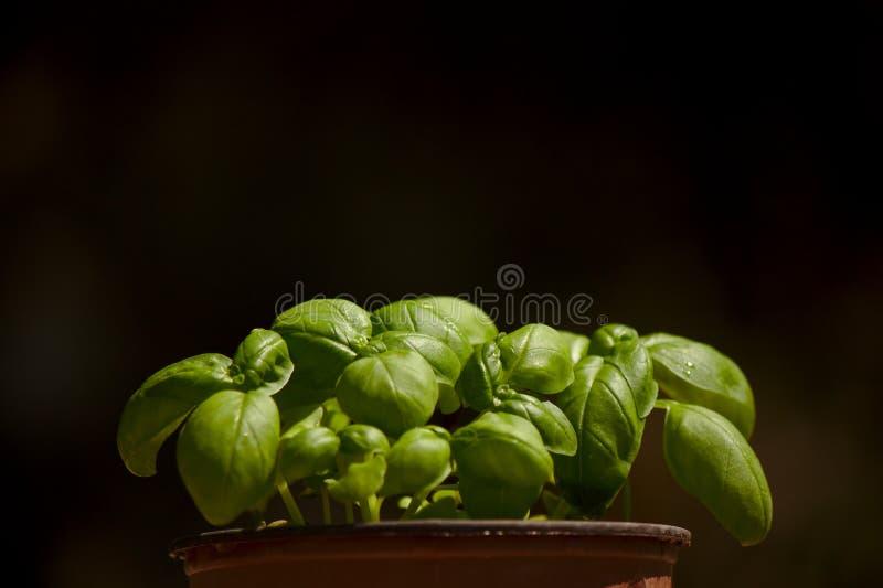 Pot de Basil photographie stock libre de droits
