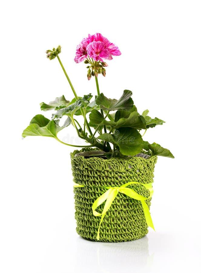 Pot de fleur avec le pélargonium rose d'isolement sur le blanc photographie stock libre de droits