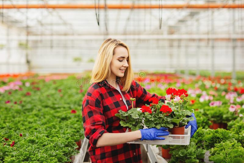 Pot de fleur femelle de participation de fleuriste en serre chaude Concept de gardering images libres de droits