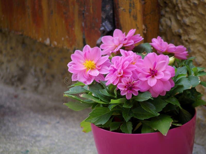 Pot de fleur rose photographie stock libre de droits