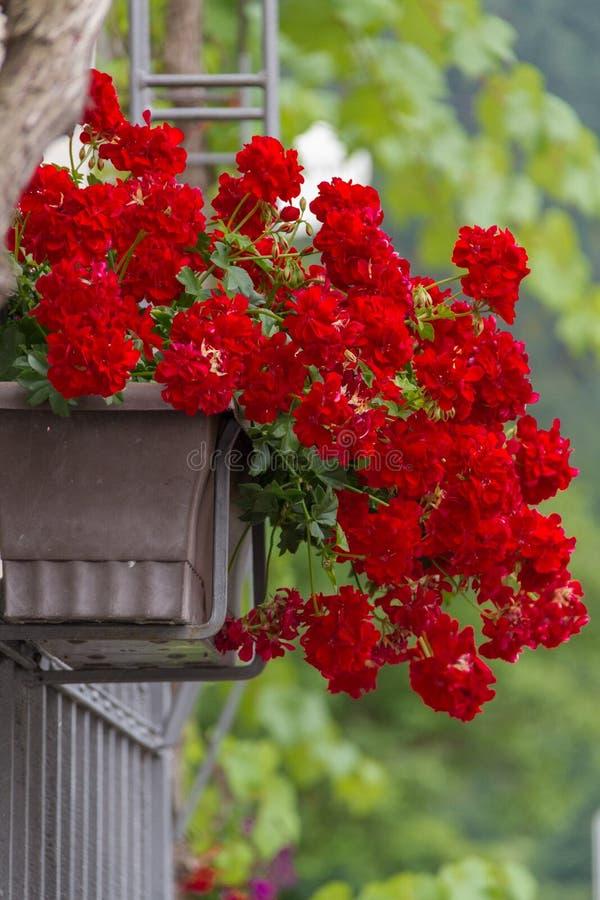 pot de fleur rouge de g ranium sur une porte image stock. Black Bedroom Furniture Sets. Home Design Ideas