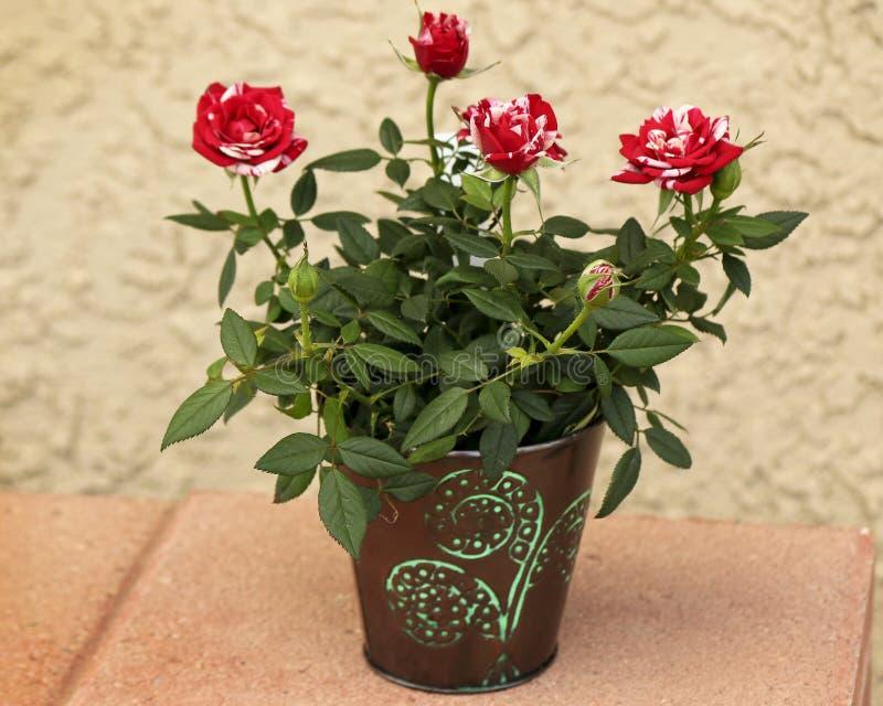 POT delle rose fotografia stock
