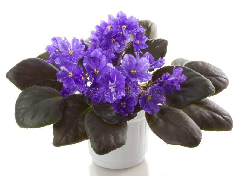 Pot flower. S saintpaulia flower, isolated on white background royalty free stock photos