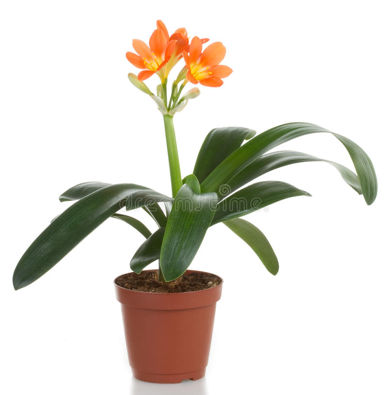 Pot flower. Clivia flower pot, isolated on white background stock photography