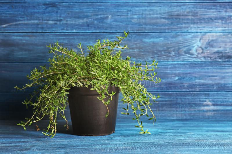 Pot with fresh aromatic thyme on color wooden background royalty free stock photography