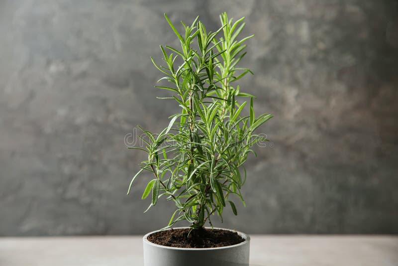 Pot with green rosemary bush  grey background. Pot with green rosemary bush against grey background stock image