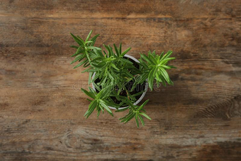 Pot with green  bush on wooden background, top view. Pot with green rosemary bush on wooden background, top view royalty free stock image