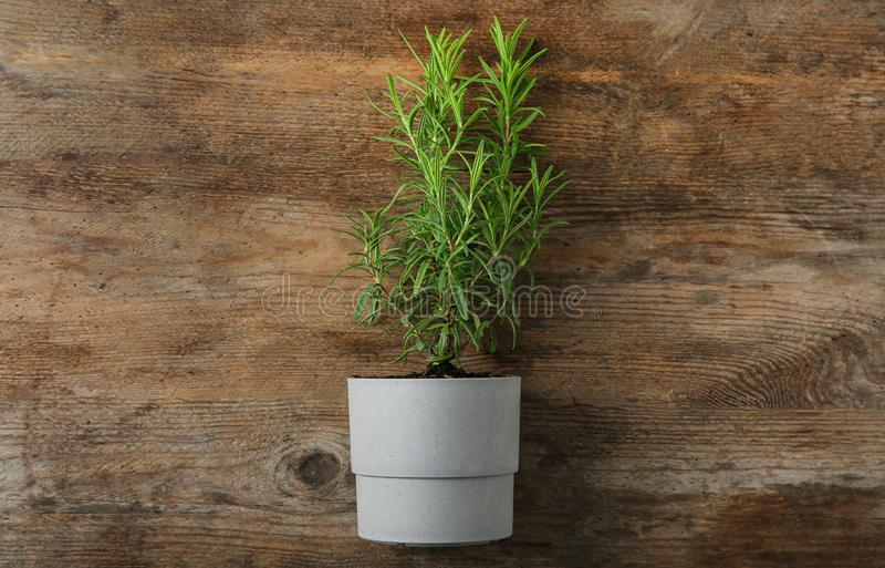 Pot with green rosemary bush on wooden , top view. Pot with green rosemary bush on wooden background, top view stock image