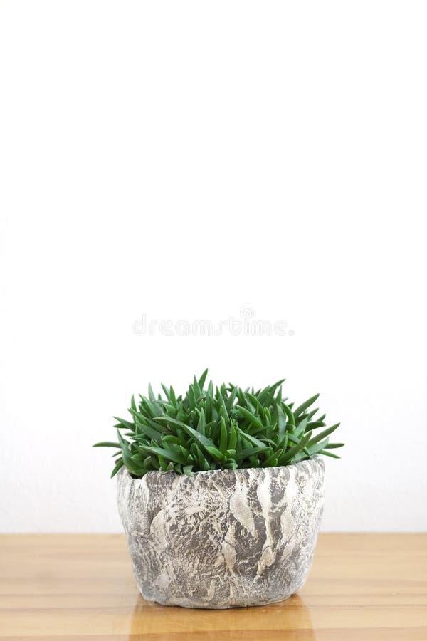 Pot of Green Succulent, Bergeranthus multiceps stock photo