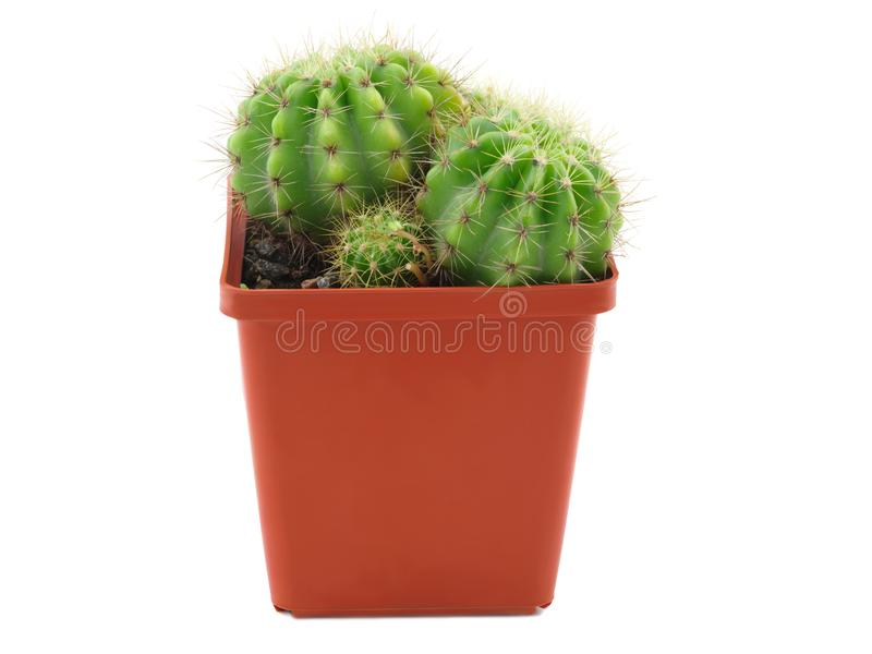 In a pot grow two cactus and one appendage. Isolated. Side view. In a brown flowerpot grow two adult cactus and one appendage. Isolated on white background stock image