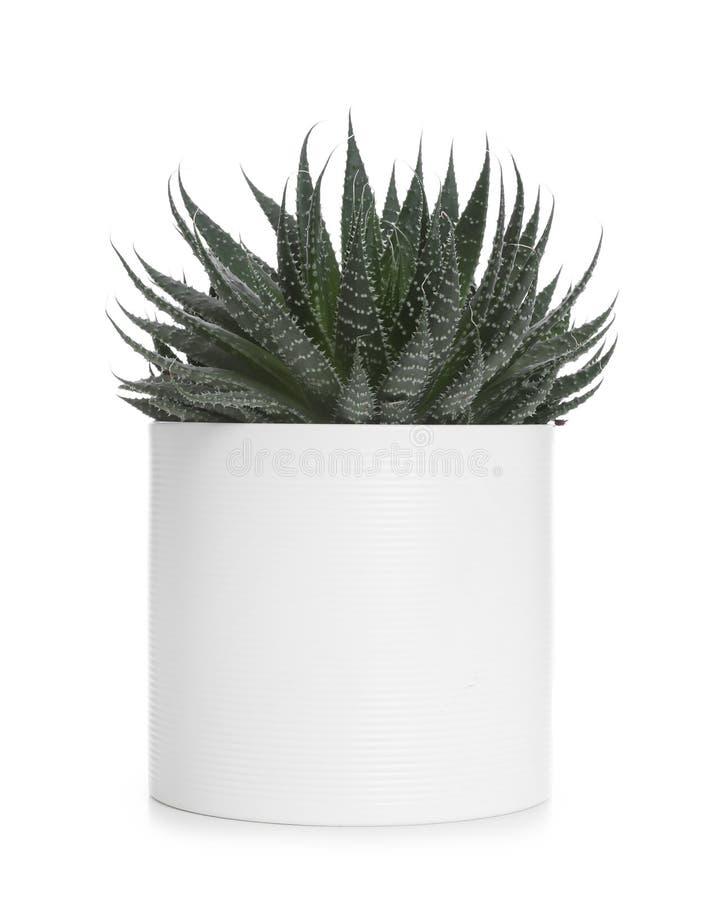 Pot with Haworthia plant isolated. Home decor royalty free stock photo