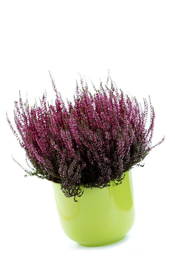 Pot of heather royalty free stock photo