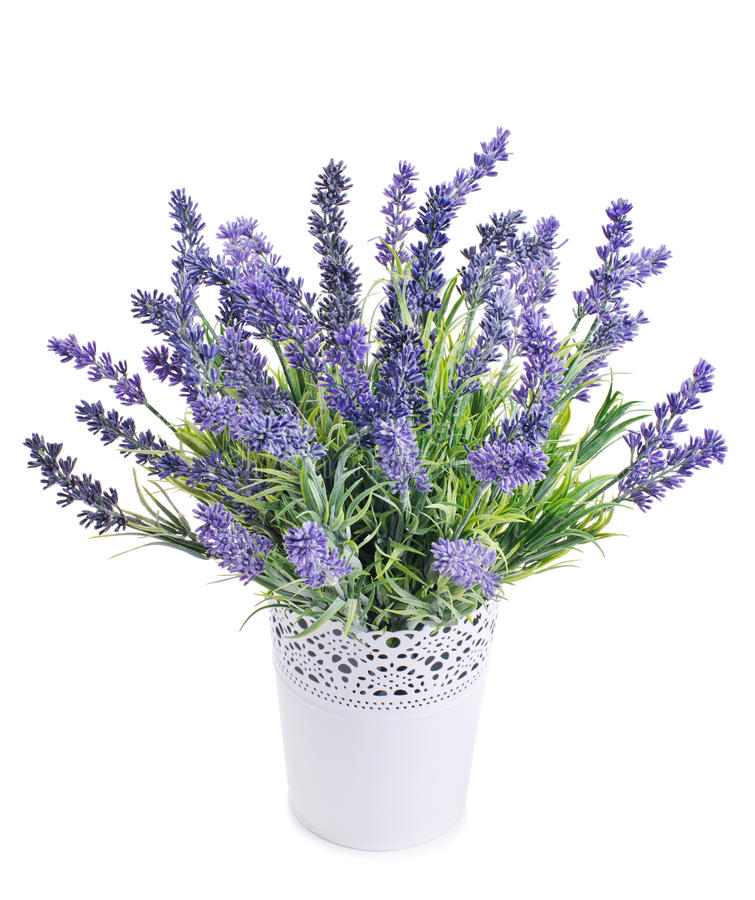 pot with lavender isolated on a white stock photo image 47008608. Black Bedroom Furniture Sets. Home Design Ideas