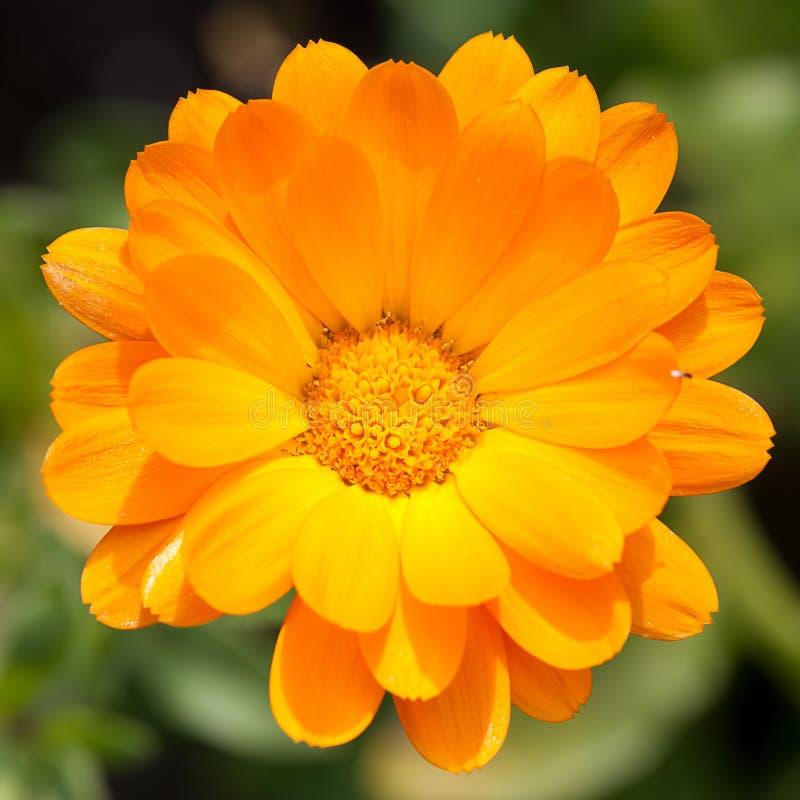 Pot marigold. (Calendula officinalis) in the garden royalty free stock images