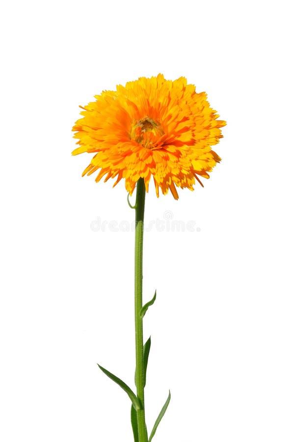 Pot marigold (Calendula officinalis). Colorful and crisp image of pot marigold (Calendula officinalis stock images