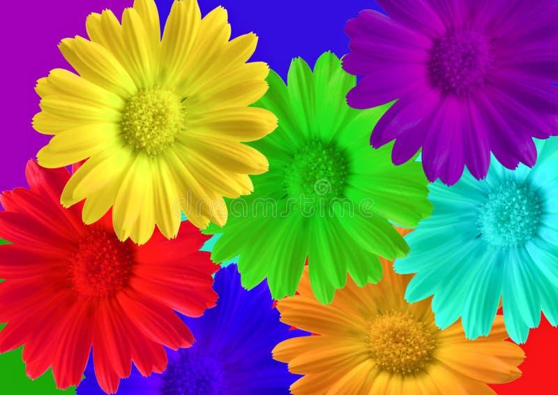 Pot Marigold (Calendula officinalis). Seven coloured pot Marigold (Calendula officinalis royalty free stock images
