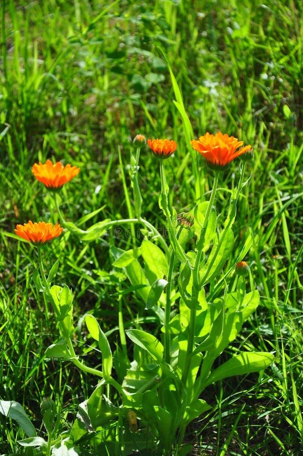 Pot marigold (Calendula officinalis). Colorful and crisp image of pot marigold (Calendula officinalis stock photography