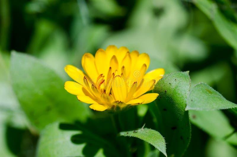 Pot marigold. (Calendula officinalis) between green leaves. Close up royalty free stock image