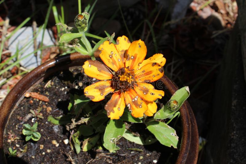 Pot marigold Calendula officinalis watter spotted. Calendula officinalis, the pot marigold, ruddles, common marigold or Scotch marigold, is a plant in the genus royalty free stock image