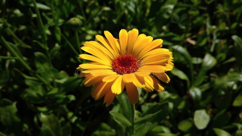 Pot Marigold. Calendula officinalis. Yellow flower garden medicinal herbs stock image