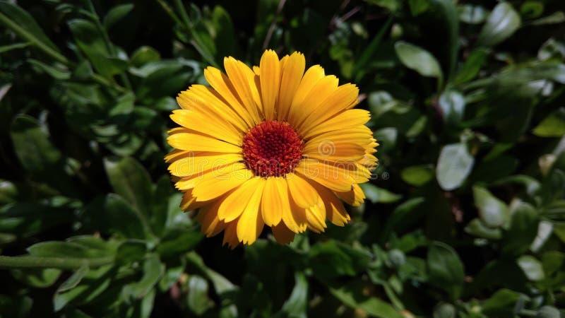 Pot Marigold. Calendula officinalis. Yellow flower garden medicinal herbs royalty free stock photography