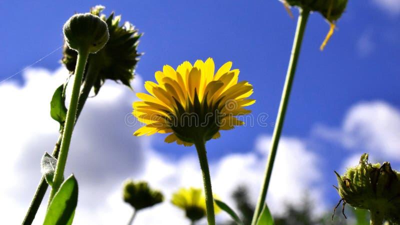 Pot Marigold. Calendula officinalis. Yellow flower garden medicinal herbs stock photography
