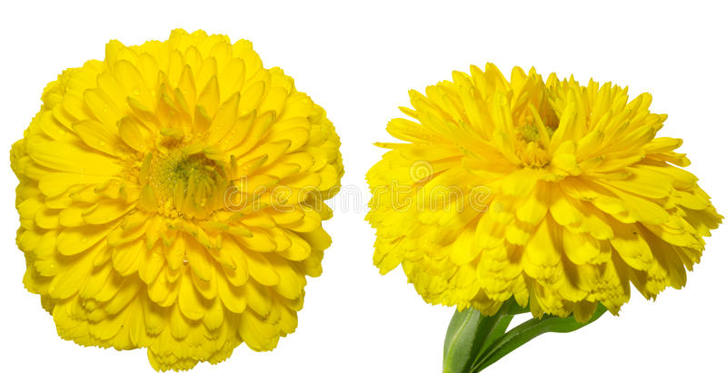 Pot Marigold. Clipping picture of the pot marigold royalty free stock photo