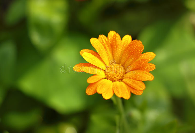 Pot Marigold flower. Close-up of Pot Marigold (Calendula officinalis) flower with water dew. Shallow depth of field royalty free stock image