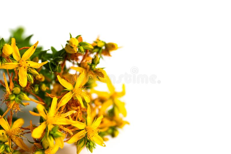 Pot marigold flowers bouquet isolated. Pot marigold calendula flowers bouquet isolated on white background, herbal, blossom, orange, floral, yellow, plant stock image