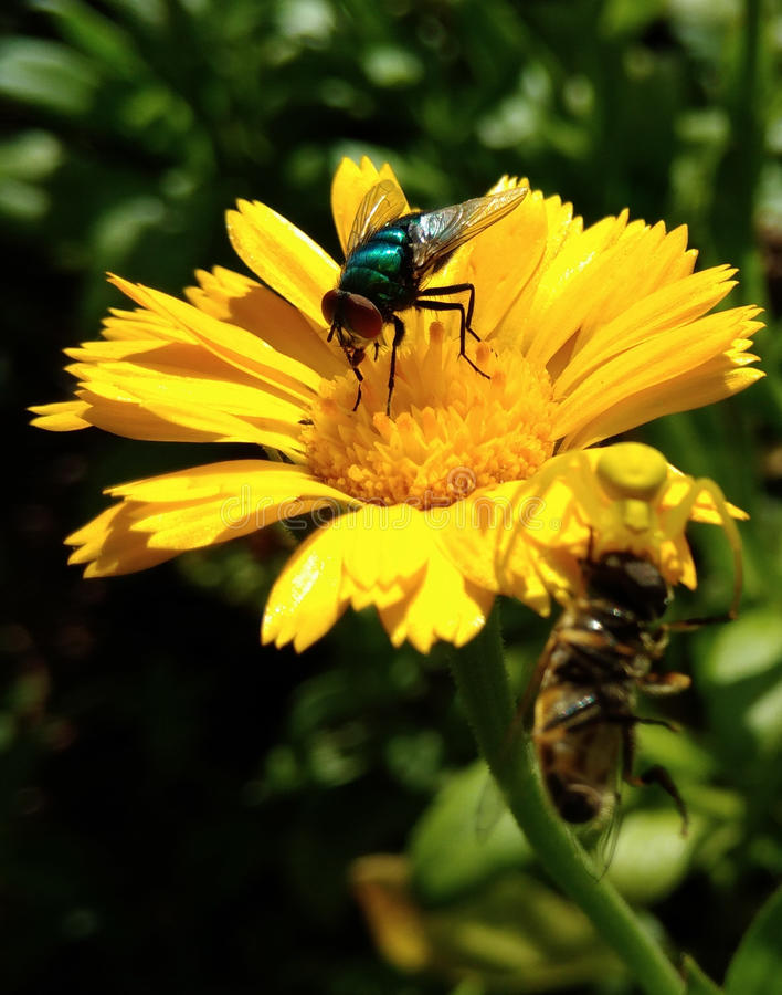Pot Marigold with a Fly. Pot Marigold - Calendula officinalis with a green fly. Yellow flower garden medicinal herbs stock photo