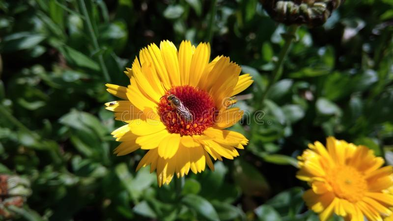 Pot Marigold with a Fly. Pot Marigold - Calendula officinalis with a fly. Yellow flower garden medicinal herbs stock photo
