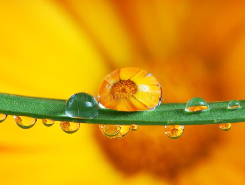 Pot marigold inside water drops. Pot marigold flower inside water drops macro photography royalty free stock photo