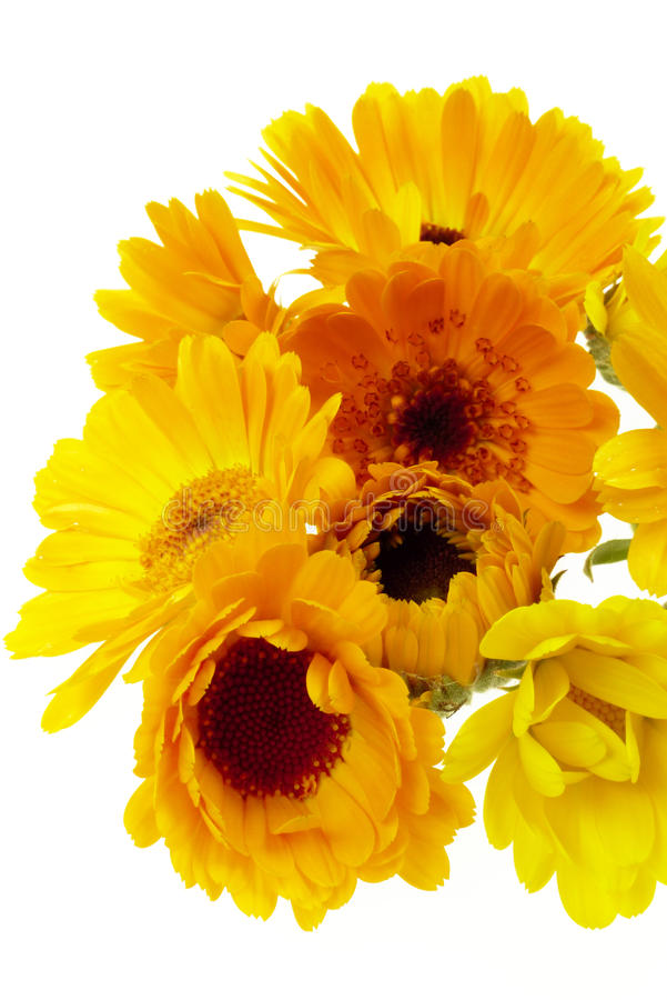 Pot marigold isolated. Pot marigold flowers isolated on white royalty free stock photos