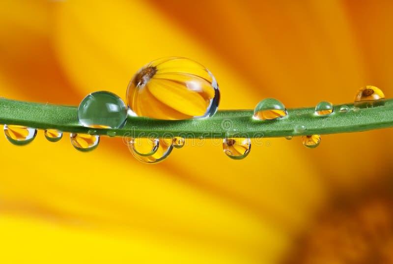 Pot marigold mirroring inside dew drops. Pot marigold flower mirroring inside dew drops macro photography stock images