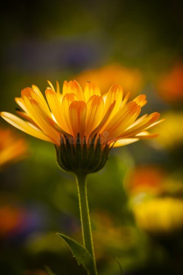 Pot marigold. An orange flower of the pot marigold stock images