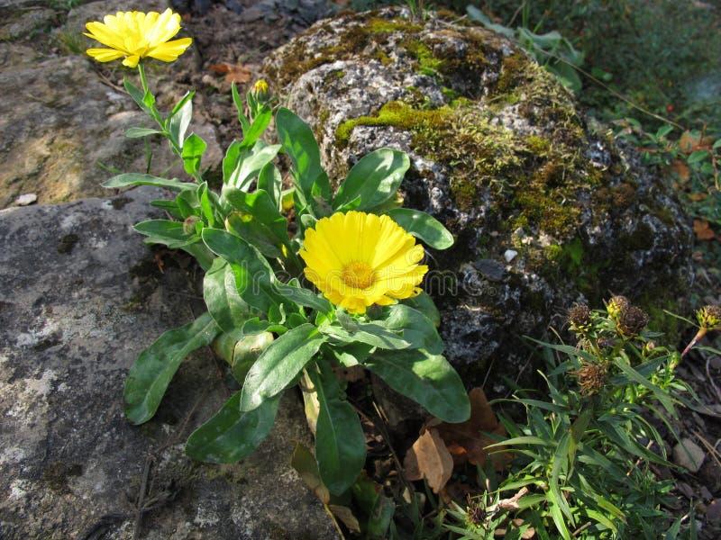 Pot marigold in a rock garden. Yellow pot marigold in a rock garden royalty free stock image