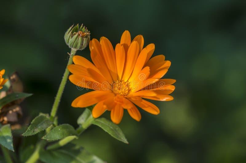 Pot Marigold. Or ruddles (Calendula officinalis) is medicinal plant royalty free stock photos