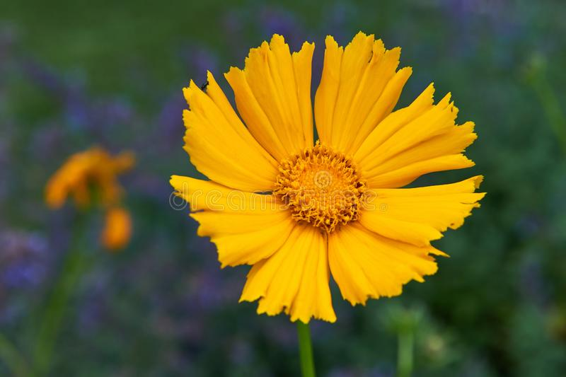 Pot Marigold in the summertime. Yellow flowers outdoors.Pot Marigold in the summertime royalty free stock photos