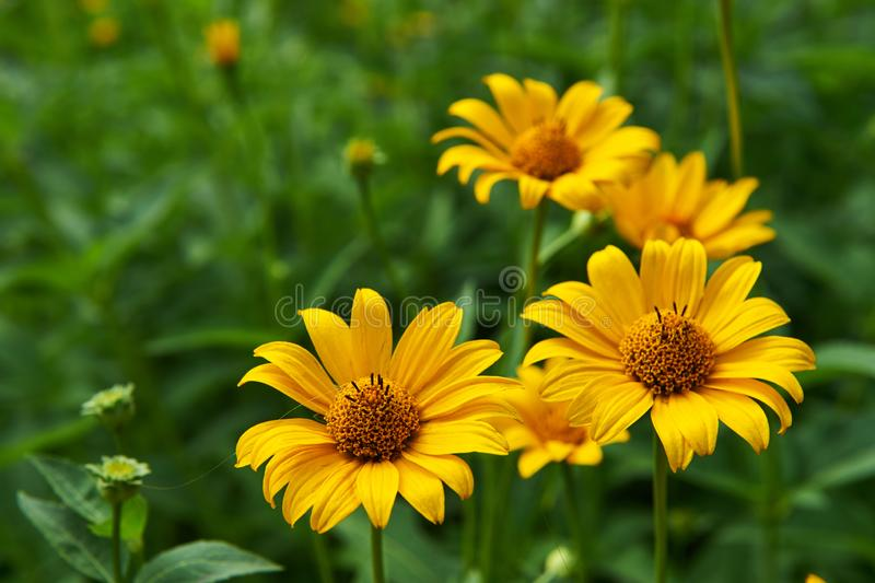 Pot Marigold in the summertime. Yellow flowers outdoors.Pot Marigold in the summertime stock photography